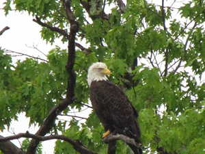 Eagle in Our Cove, Bar Harbor Maine